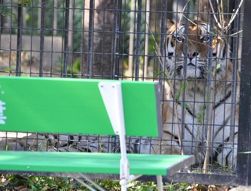 10月18日 おびひろ動物園 アムールトラ タツオ