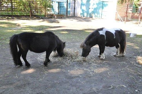 10月18日 おびひろ動物園 ミニチュアホースとラマ