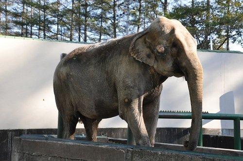 10月18日 おびひろ動物園 アジアゾウ ナナ