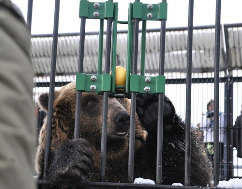 11月25日 旭山動物園 エゾヒグマ