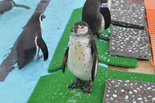 12月9日 釧路市動物園 フンボルトペンギン ぶるぶる・・・
