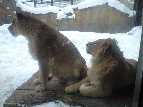 懐かしい写真シリーズ・・・2008年2月 旭山動物園 ライオン母子