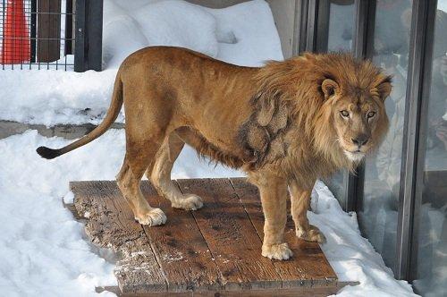2月19日 旭山動物園 ライオン ライラ