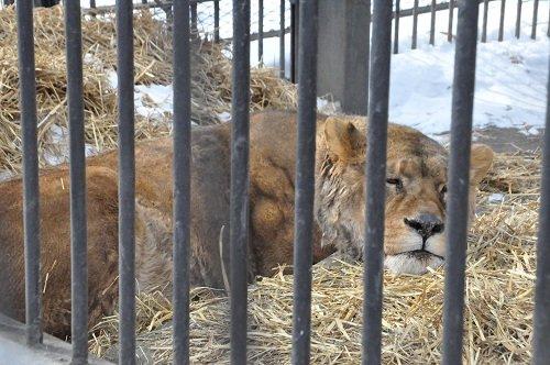 2月24日 おびひろ動物園 ライオン エルザ