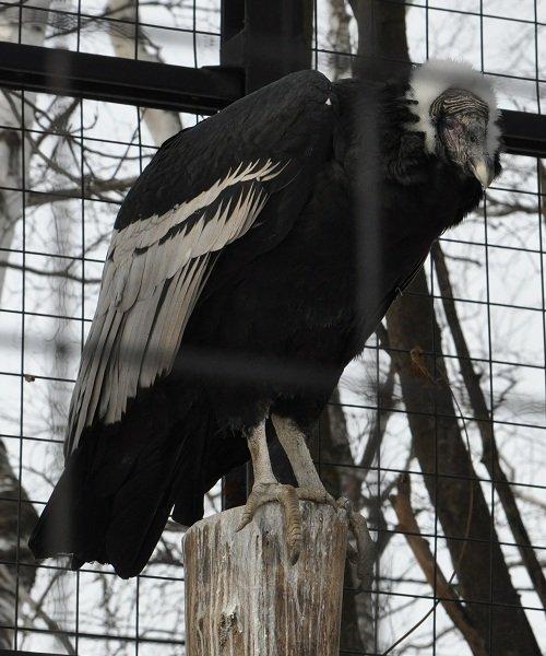 2月24日 おびひろ動物園 アンデスコンドル