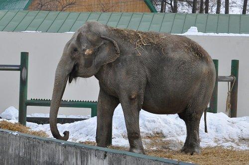 2月24日 おびひろ動物園 アジアゾウ ナナ