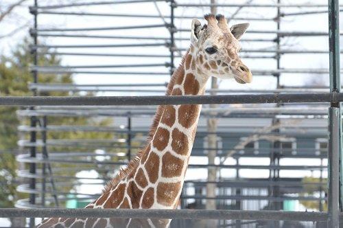 2月24日 おびひろ動物園 アミメキリン2