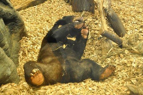 2月12日 円山動物園 熱帯雨林館 マレーグマ