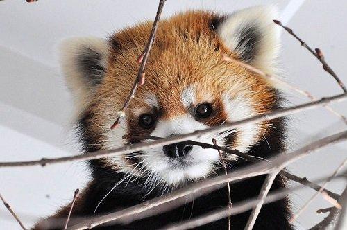 3月28日 円山動物園 レッサーパンダ