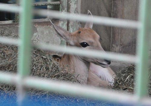3月28日 円山動物園 エランドに赤ちゃん誕生