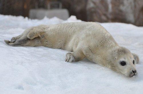 訃報 旭山動物園 ゴマフアザラシの赤ちゃん