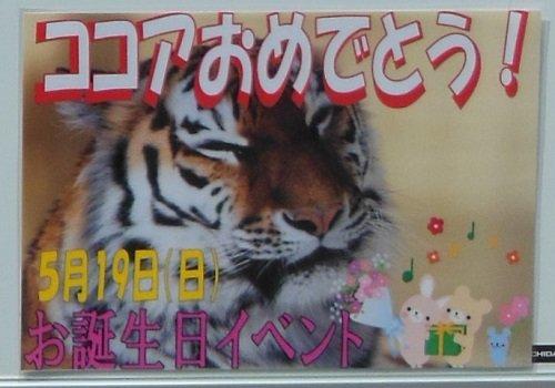 5月19日 釧路市動物園 アムールトラ ココアのお誕生日会