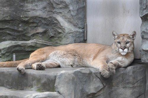 5月6日 大森山動物園 ピューマのぴゅー太とぴゅー子