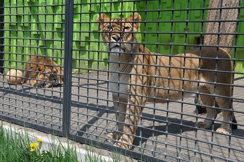5月19日 釧路市動物園 ライオンとラーメン