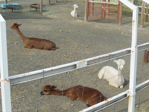 5月19日 釧路市動物園 アルパカ