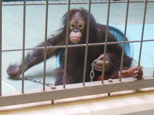 5月19日 釧路市動物園 オランウータン ひな