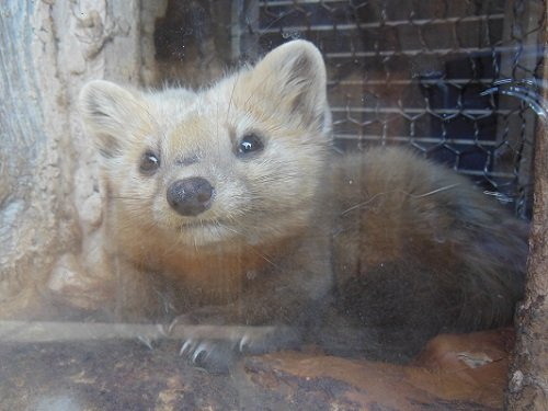5月19日 釧路市動物園 エゾクロテン てんてん