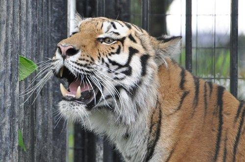6月27日 おびひろ動物園 アムールトラ マオ1