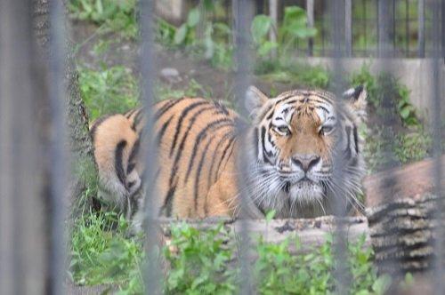 6月27日 おびひろ動物園 アムールトラ マオ2