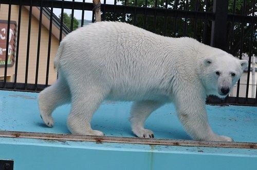 6月27日 おびひろ動物園 ホッキョクグマのお食事