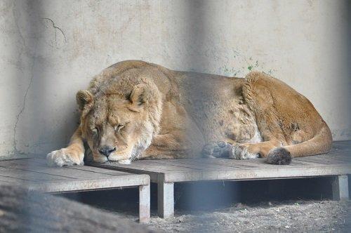 6月27日 おびひろ動物園 ライオン エルザ