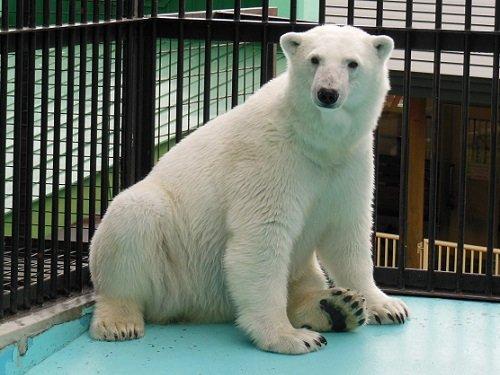 6月27日 おびひろ動物園 16時頃のホッキョクグマ