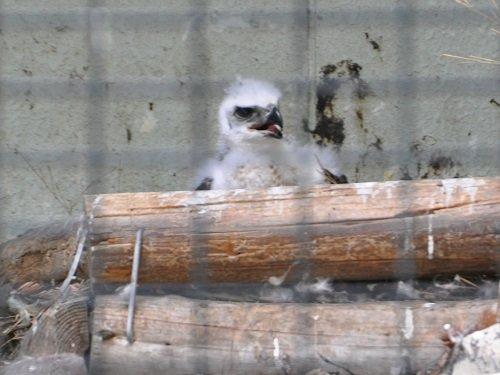 7月13日 旭山動物園 クマタカのヒナ