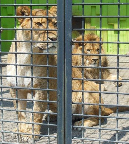 釧路市動物園 ライオン アキラ&ゆうき、おめでとう!!