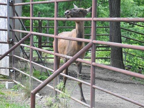 7月18日 旭山動物園 ワピチ サチ