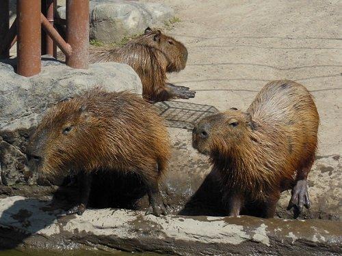 7月18日 旭山動物園 カピバラ