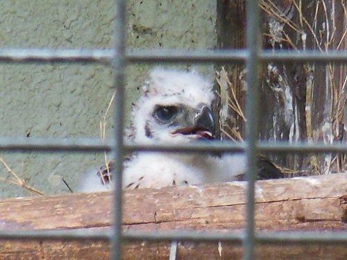7月18日 旭山動物園 クマタカの幼鳥