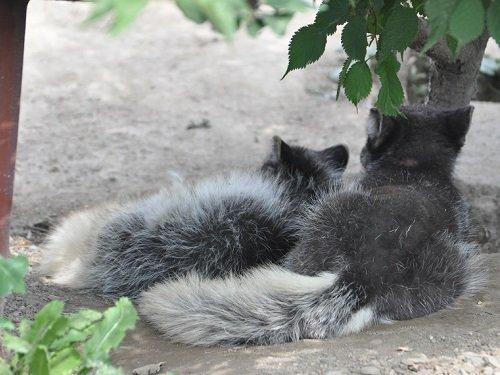 7月18日 旭山動物園 ホッキョクギツネ