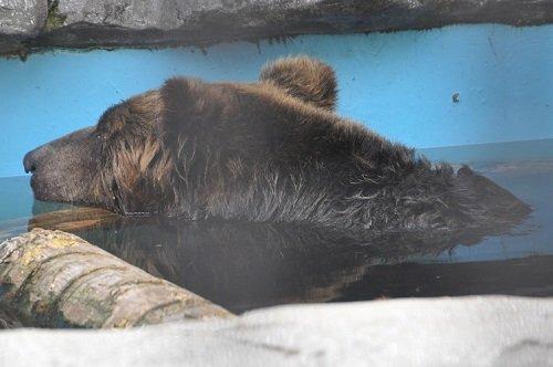 7月18日 旭山動物園 エゾヒグマ くまぞう