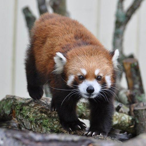 7月28日 釧路市動物園 レッサーパンダのパクパクタイム