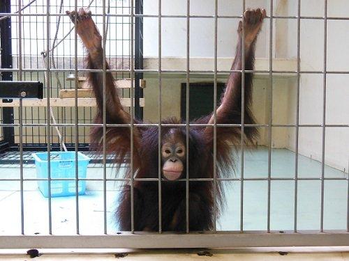 7月28日 釧路市動物園 オランウータン ひな