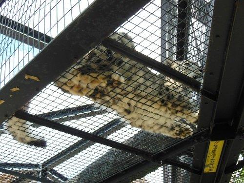 8月29日 旭山動物園 ユキヒョウ ジーマ