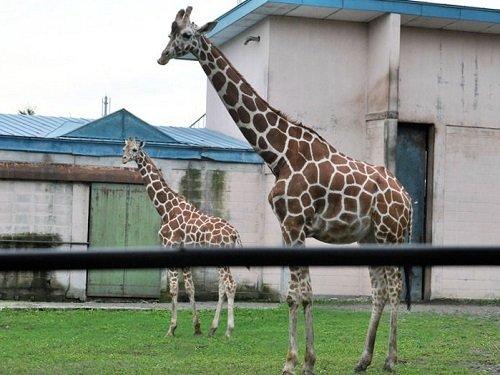 9月5日 おびひろ動物園 アミメキリン