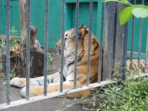 9月5日 おびひろ動物園 トラ・ライオンとシロフクロウ