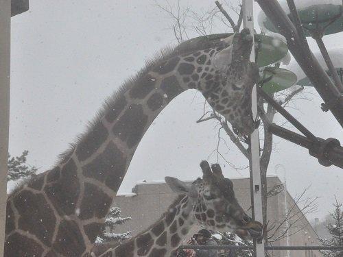 12月1日 旭山動物園 初めてキリン舎へ!