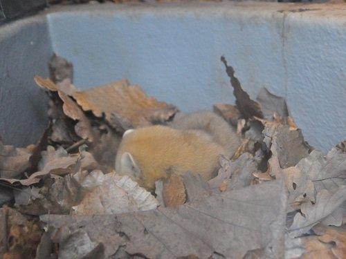12月1日 旭山動物園 エゾクロテン