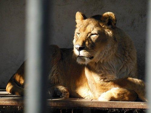 12月7日 おびひろ動物園 ライオン エルザ