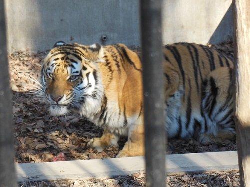 12月7日 おびひろ動物園 アムールトラ マオ