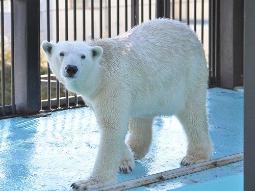 12月7日 おびひろ動物園 ホッキョクグマのスポットガイド