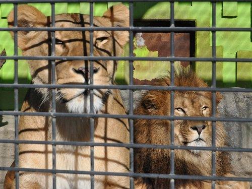 12月8日 釧路市動物園 ライオン親子1