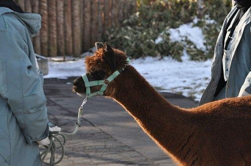 12月8日 釧路市動物園 アルパカ