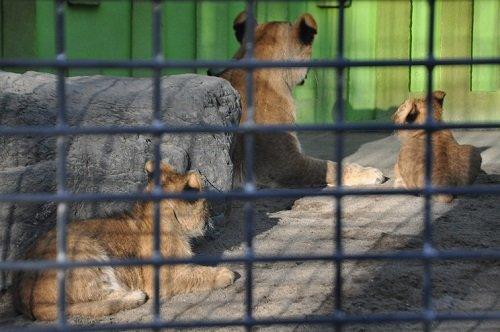 12月8日 釧路市動物園 ライオン親子2
