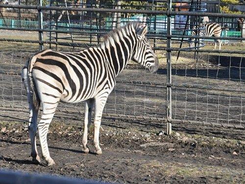 2013年12月7日 おびひろ動物園 シマウマ 私が最後に会ったロック