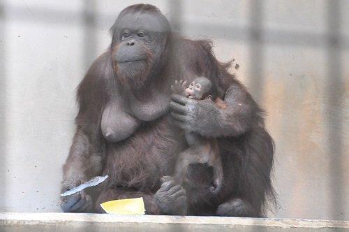 3月1日 釧路市動物園 オランウータン ロリーと赤ちゃん