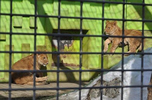 3月1日 釧路市動物園 ライオン親子1