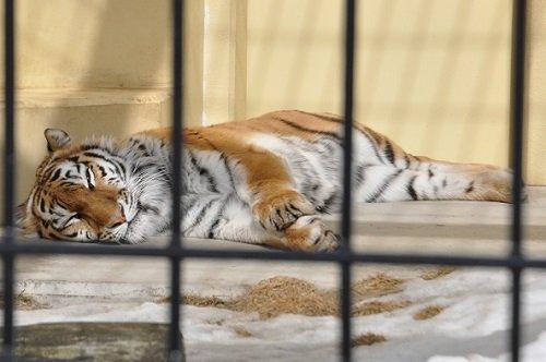 3月1日 釧路市動物園 アムールトラたち